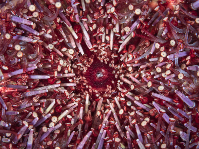 The underbelly of a purple urchin (Strongylocentrotus purpuratus) is crowded by a colorful field of spines, tube feet, and clawed appendages called pedicellariae.  2019. Carmel, CA, USA