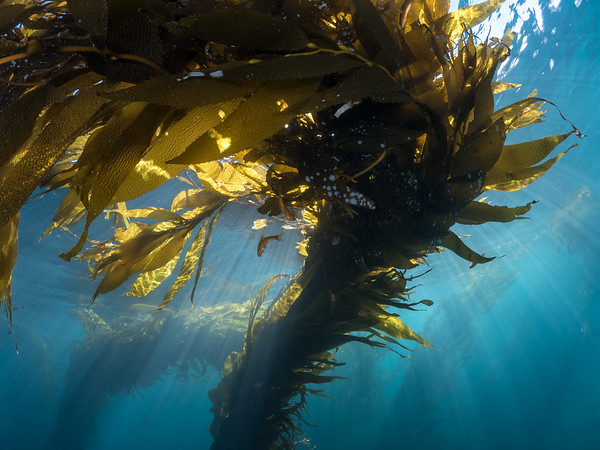 A giant kelp (Macrocystis pyrifera) basks in the cool sunlight and blue water of winter.  2019. Monterey, CA, USA
