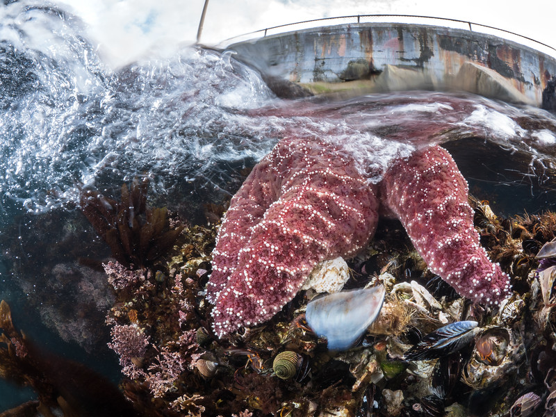 An ochre sea star (Pisaster ochraceus) feasts on California mussels (Mytilus californianus) below a breaking swell.  2019. Monterey, CA, USA