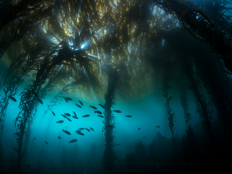 Giant kelp (Macrocystis pyrifera) forms the arches of the kelp forest canopy.   2018. Carmel, CA, USA
