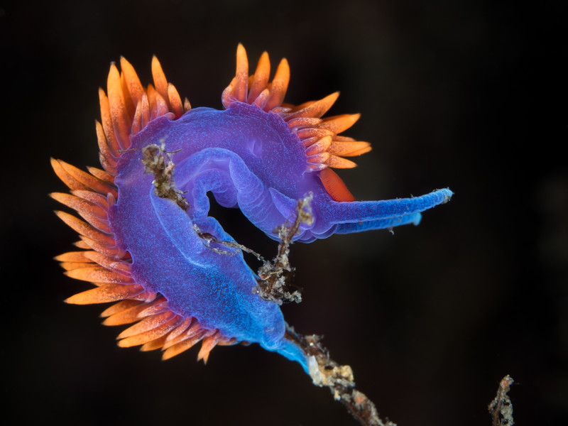 A Spanish shawl nudibranch (Flabellinopsis iodinea) is bent by the whim of the water, body contorted in unrelenting surge.  2018. Channel Islands, CA, USA