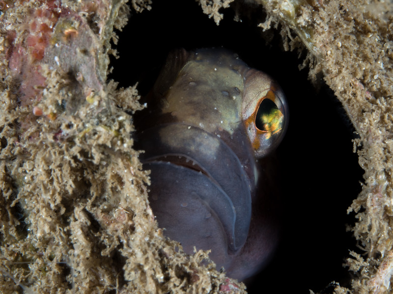 A stripefin ronquil (Rathbunella hypoplecta) peeks out of an abandoned barnacle shell while  fanning his egg cluster with his fins inside.  2017. Monterey, CA, USA