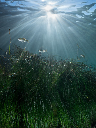 Reef surfperch (Micrometrus aurora) ride the crest of a wave of surfgrass (Phyllospadix torreyi) as it sways in the surge.  2018. Monterey, CA, USA