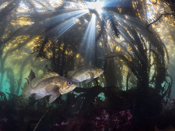 Kelp rockfish (Sebastes atrovirens) weave through a tangle of sunbeams and feather boa kelp (Egregia menziesii), at home in the surreal shallows of the underwater forest.  2020. Carmel, CA, USA