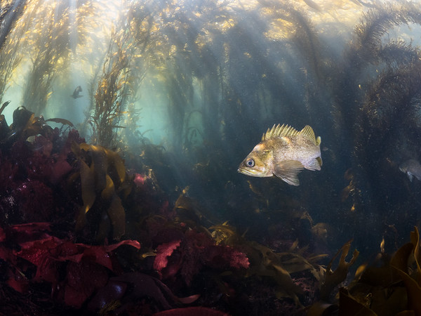 The sunlit shallows of the kelp forest are home to a diverse tangle of algae, creating pristine habitat for a vast variety of marine life like the kelp rockfish (Sebastes atrovirens).  2020. Carmel, CA, USA