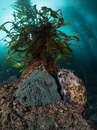A male cabezon (Scorpaenichthys marmoratus) guards his mass of glittering green eggs beneath a towering giant kelp (Macrocystis pyrifera).  2020. Monterey, CA, USA