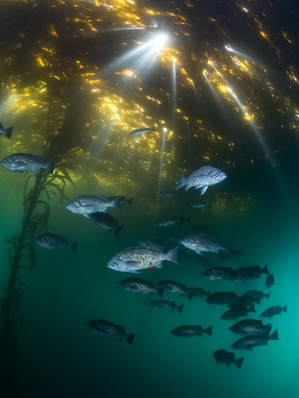 A shoal of blue rockfish (Sebastes mystinus) float through the misty green murk as sunbeams pierce the algal canopy above them.  2020. Carmel, CA, USA