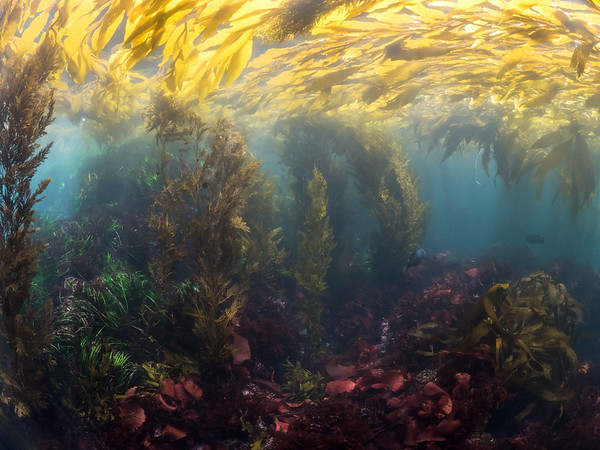 The colors of a shallow kelp forest glow on a cloudy day.  2019. Carmel, CA, USA