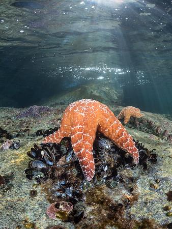 A pack of predators on the prowl, this trio of ochre sea stars (Pisaster ochraceus) patrols the intertidal for their favorite prey - the California mussel (Mytilus californianus).  201 8. Monterey, CA, USA