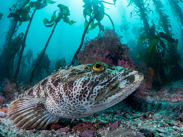 A large lingcod (Ophiodon elongatus) rests at the bottom of the kelp forest after migrating up from the depths to spawn.  2015. Carmel, CA, USA.