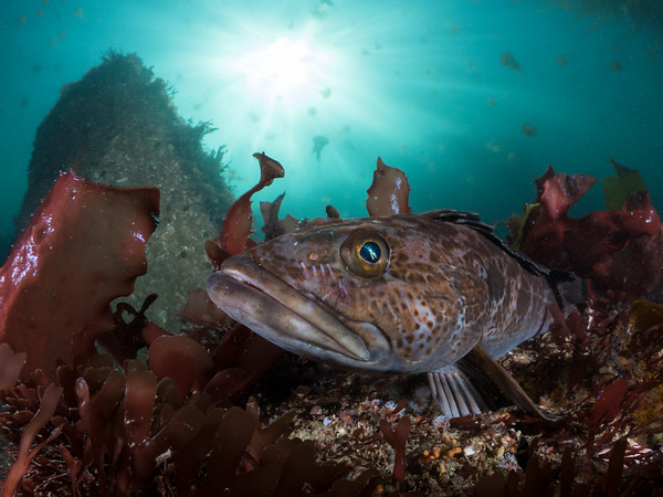 A young lingcod (Ophiodon elongatus) hides in the safety of a  red algae bed as jellies drift above.  2018. Monterey, CA, USA