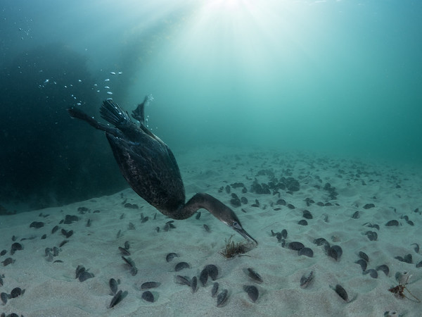 Sweeping the sand with its beak, a Brandt's cormorant (Phalacrocorax penicillatus) scours the sanddollar-studded shallows for a fishy morsel.  2018. Monterey, CA, USA
