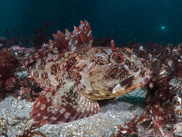 Lying still in a swath of red algae, a cabezon (Scorpaenichthys marmoratus) performs its best impression of an encrusted rock.  2018. Carmel, CA, USA