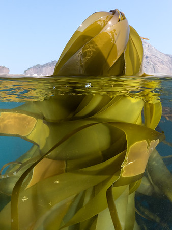 A tangle of briny fettuccine, a bull kelp's (Nereocystis luetkeana) flowing blades enwrap themselves in calm water, tethered to the bulbous bladder from which they grow.  2018. Big Sur, CA, USA