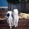 Husky Butts