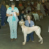 Damascus Wild Oat - first dog show.  A little saggy backed in this photo.  His rear growing at a different rate than the rest of him