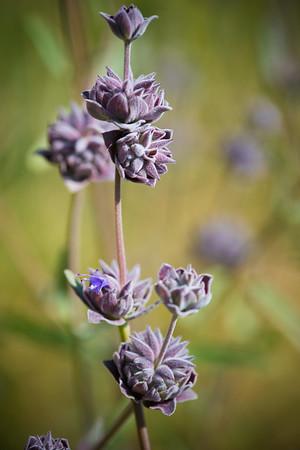 Salvia 'Pozo Blue'