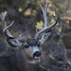 Note the bow in his Right antler (left lookin at ya) just before the eye guard ???