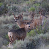 Another cactus buck from the same 640 acres. 2007 Photo