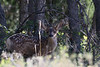 This is a buck fawn (I think?) with a future, dosen't he just look like he has a smart attitude?