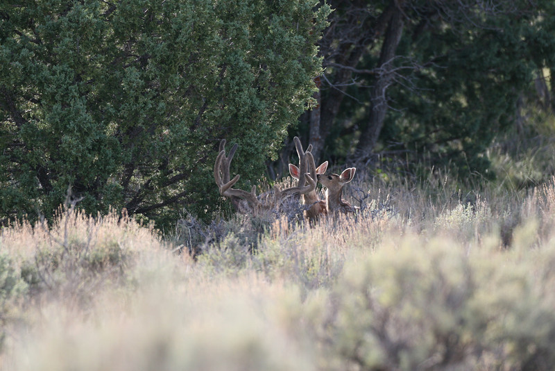 These 2 small fawns walk up to the bedded buck and start sniffing his antlers> next photo