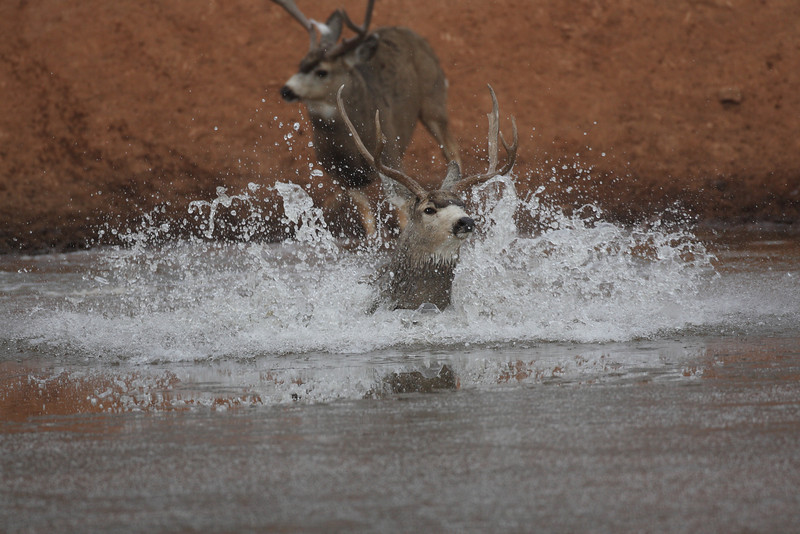 After a short period of time the buck that attacked (still carrying the hair from the white spot on his eye guard) just walked away like he had conquered the world. The wet buck swam to shore and limped off in the opposite direction. Unreal to watch.