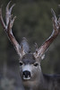 This buck showed up in 2007 on the Paunsaugunt and has not been seen since, he was in full velvet in October. Displayed no rut behavior in November.