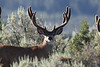 This buck took an arrow in 2008 and the hunter was sick that he could not retrieve him. but... he was seen on winter range in December doing just fine. Jer has some photos to prove the point in his Mule Deer section. 2008 Photo. Oh, he was a 3x4 in 2007.