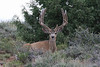 "This buck was named ""Pink"" for the pink and white velvet he carried. Not obvious in the photos, but there just the same. He did not show up on summer range in 2008. 2007 photo."