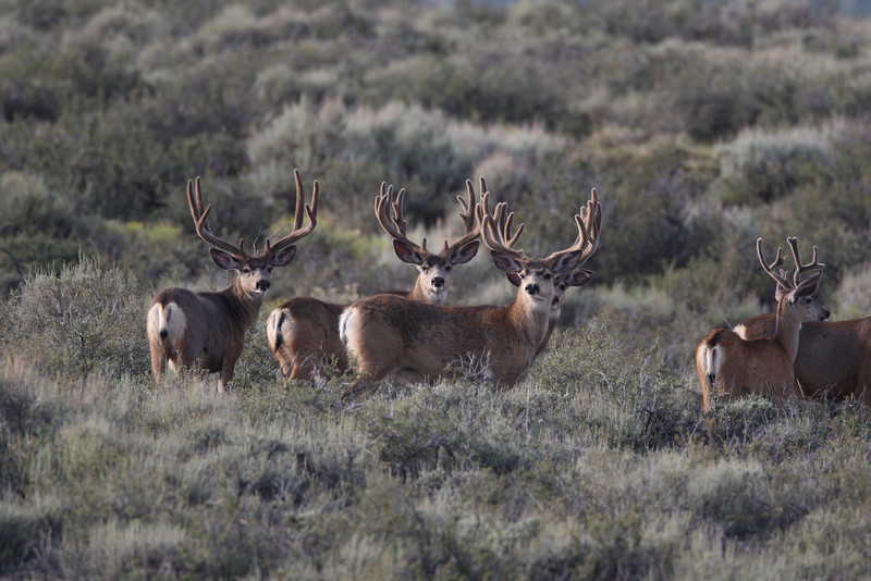 Great Mgt buck on the left. 2008 Photo.