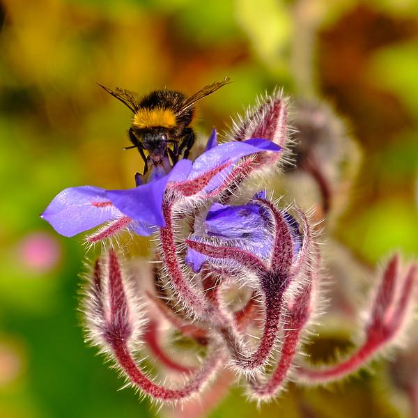 Bomba bee