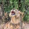 Maneless Lion of Samburu
