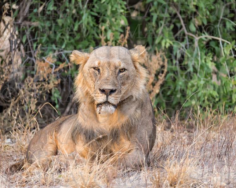 Maneless lion of Samburu