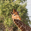 Reticulated Giraffe