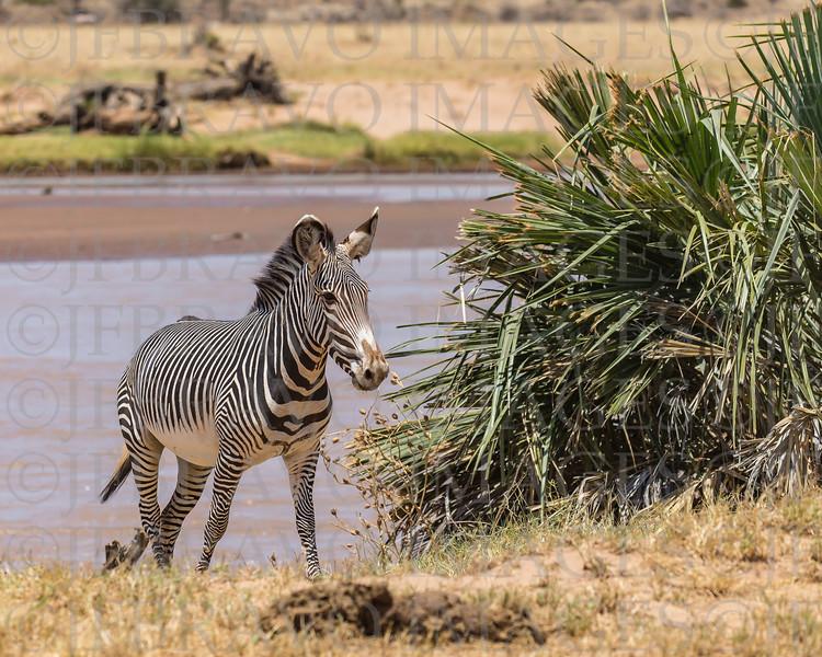 Grey's zebra