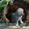 Gray Wolf Pup in a Log