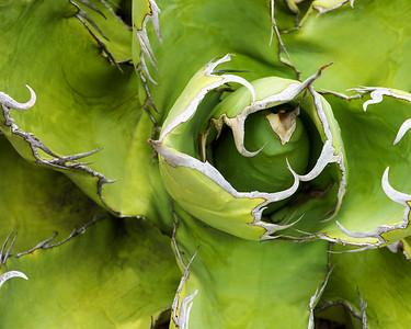 Cactus 5145