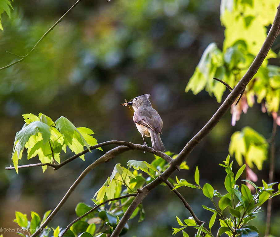 Titmouse with fly