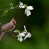Female Northern Cardinal with dogwood blossoms