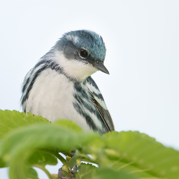 Male Cerulean Warbler, Brown County, Indiana