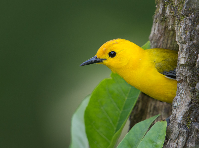 Male Prothonotary Warbler, Indiana