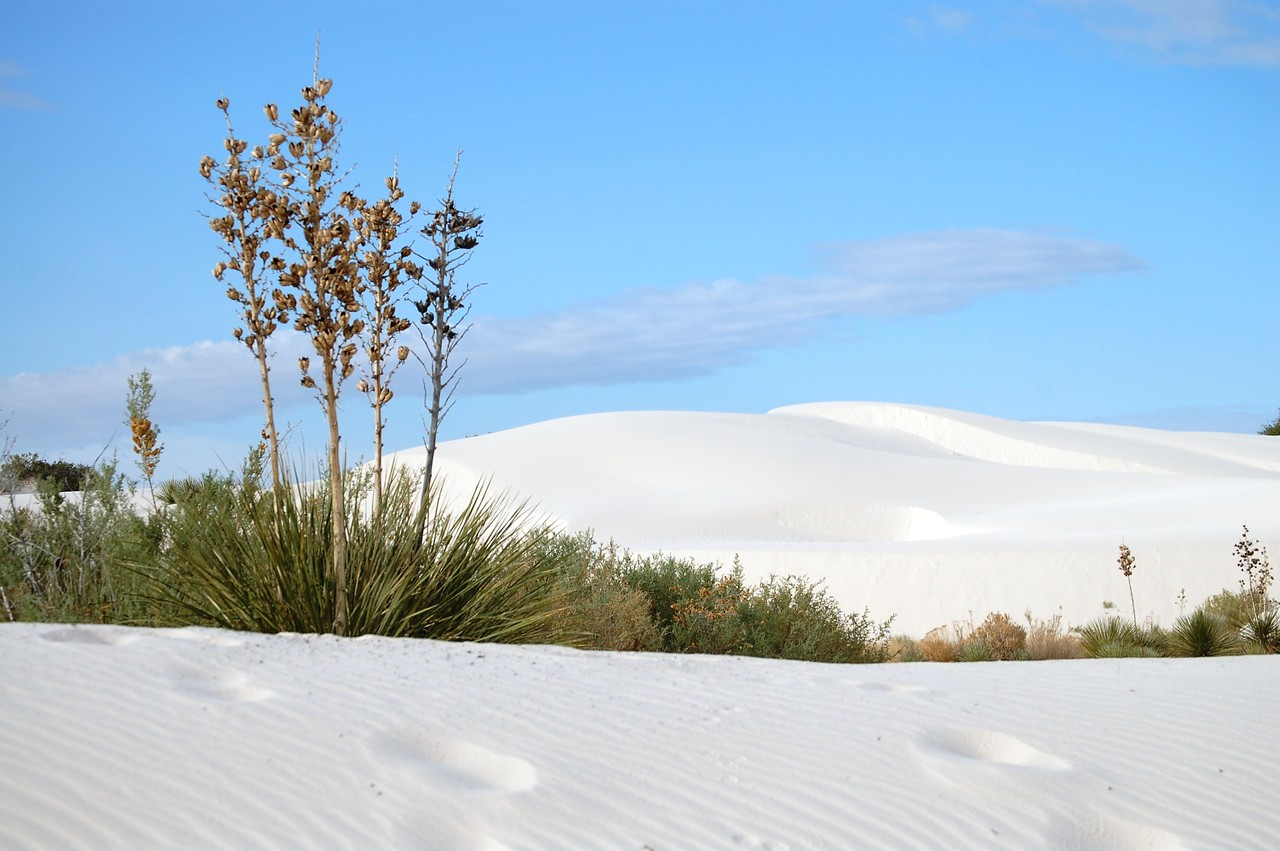 Yucca against the dunes of White Sands National Monument in southern New Mexico