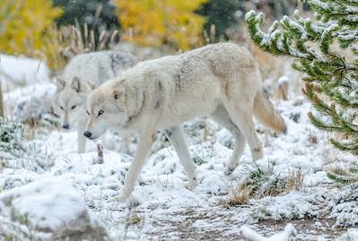 Gray Wolf, MT
