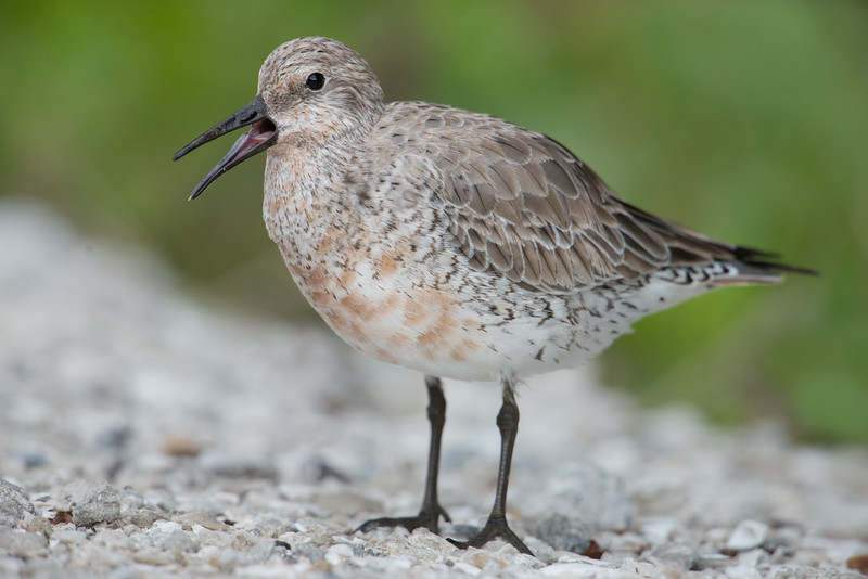 Red Knot, Ding Darling NWR, FL