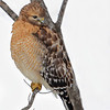 Red-shouldered Hawk, Indiana