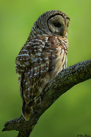 A Barred Owl Surprise