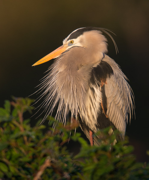 Great Blue Heron, Florida