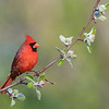 Male Northern Cardinal with apple blossoms