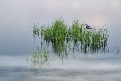 Grass in Water with Butterfly 5155