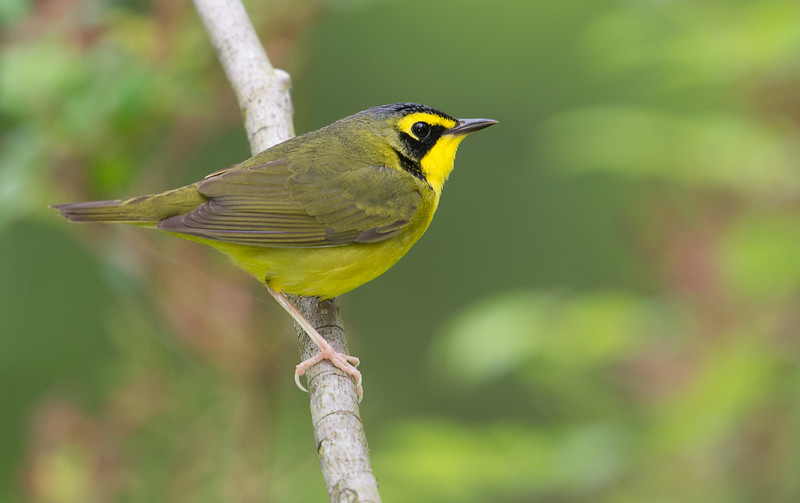 Male Kentucky Warbler, Indiana